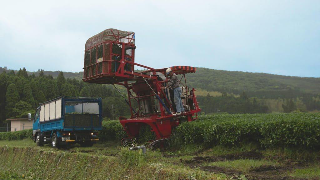 Tea harvester unloading leaves at the tea field