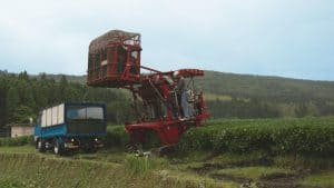 Tea harvester unloading leaves at the tea field