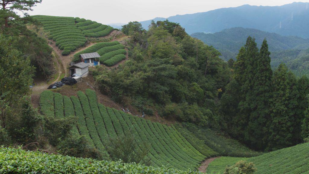 Wazuka cold brew tea plantation field