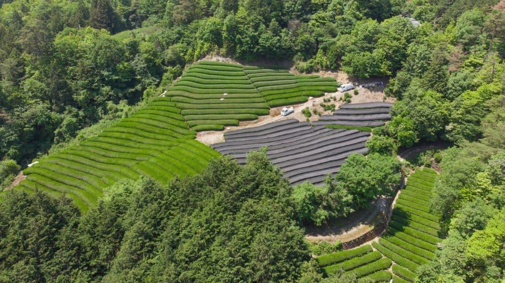 A hill of tea plantations at Wazuka