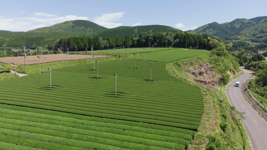 A vast Kagoshima tea plantation field with a road alongside steep hill