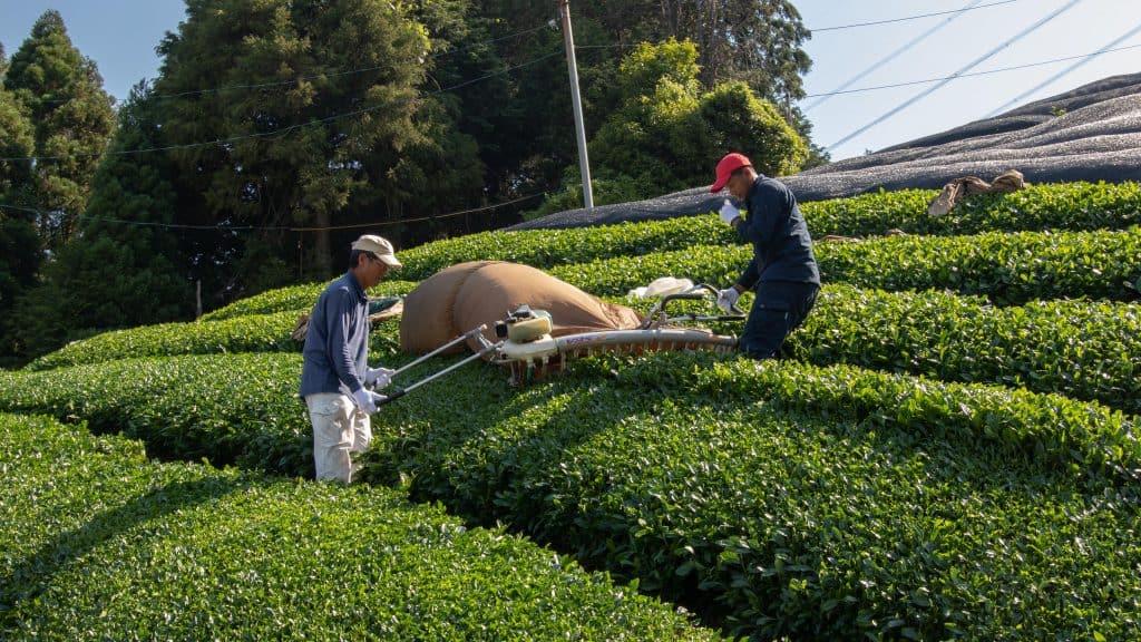 Two Japanese farmers hand harvesting tea leaves