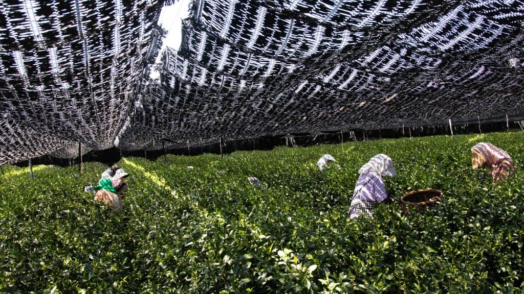 Japanese farmers in Uji, Japan hand picking tea leaves in small tea field