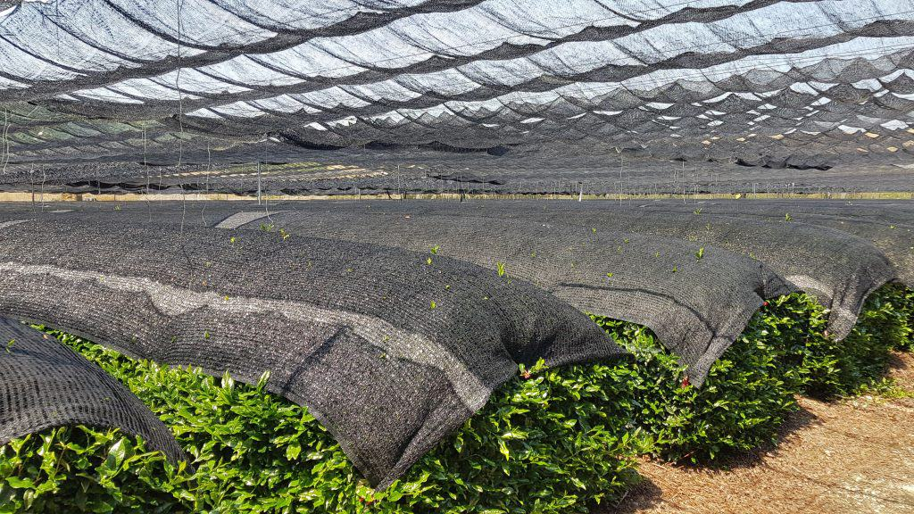Close view of shaded tea plants in Japan