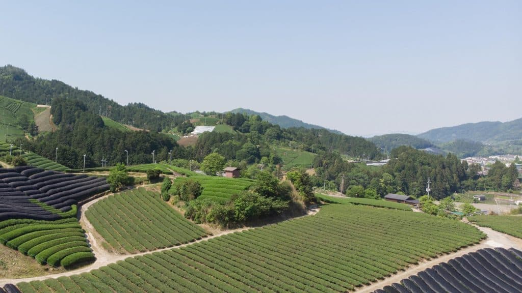 Plantation field of tea bushes in Japan with some shaded leaves to block sunlight