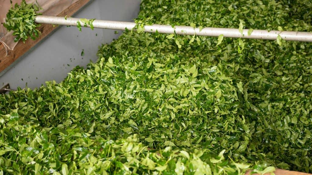 Fresh harvested tea leaves unloaded in large bay
