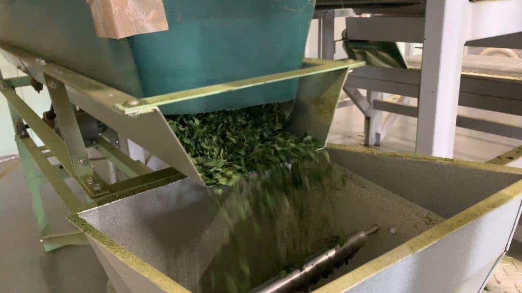 Machine processing Aracha tea leaves