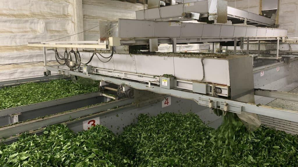 raw leaf processing