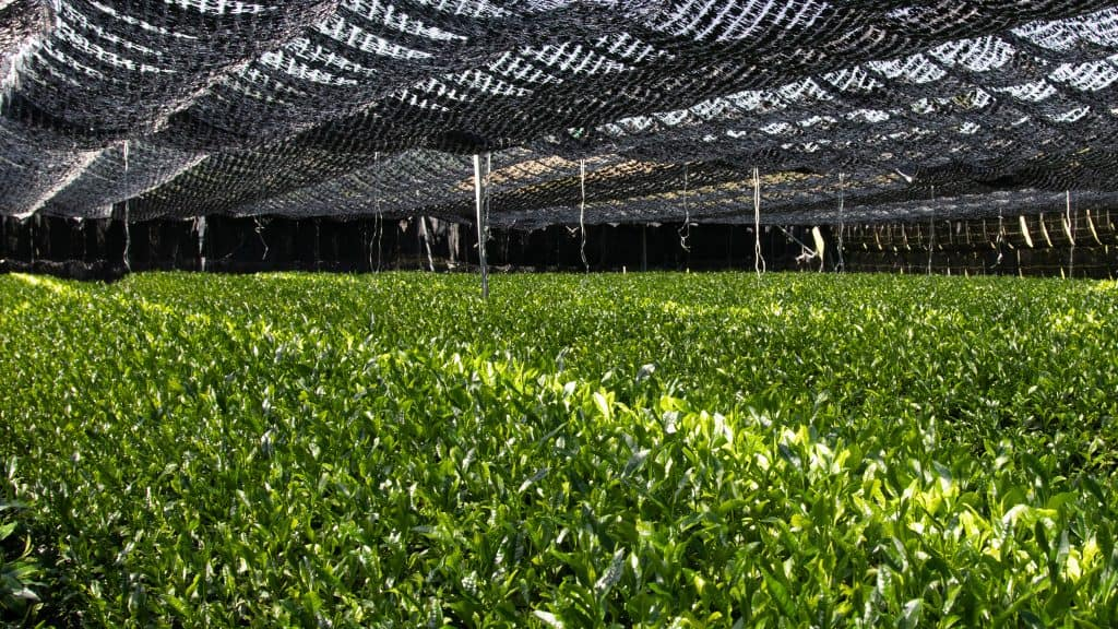 Japanese shaded tea field filled with vibrant green tea leaves for matcha production