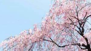 Spring harvest in Japan