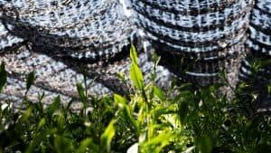 Close up of tea plants