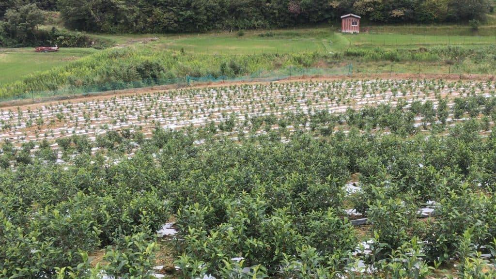 Tiny tea bushes at Japanese tea plantation with different tea cultivars